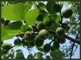 Ветка абрикоса, фото