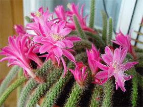 Что такое кактус, фото