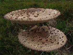 Что такое гриб-зонтик, фото