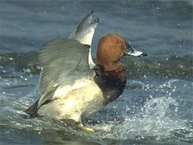Охота на нырков, фото