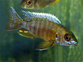 Рыбка усач с косичками, фото