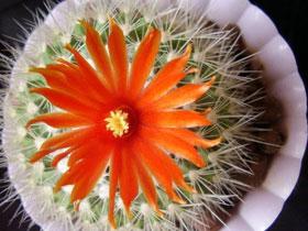 Уход за кактусом Пародия, фото