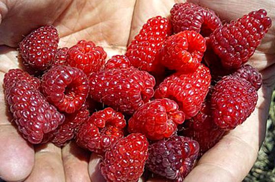 Выращивание малины как бизнес: План и рентабельность 22