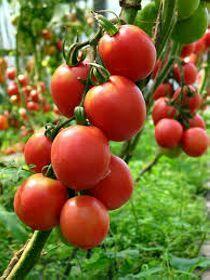Ветка со спелыми помидорами, фото