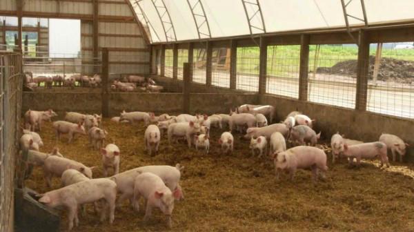 белье как создать свою мини свиноферму удачно