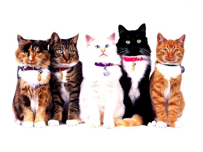 ДНК – тестирования кошек