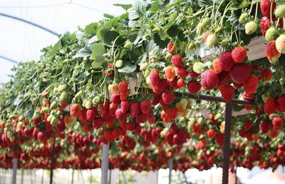 Доходы и расходы от выращивания клубники