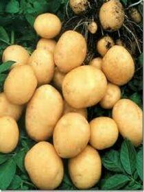 Картофель, фото