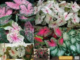 Комнатное растение Каладиум, фото