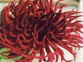 Хризантемовидный георгин, фото