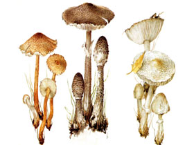 Гриб - зонтик пестрый, белый, лохматый, фото