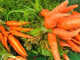 Когда собирать морковь, фото
