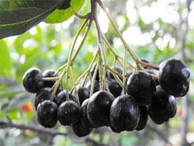 Лечебные свойства черноплодной рябины, фото