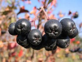 Рецепт черноплодной рябины лечении, фото